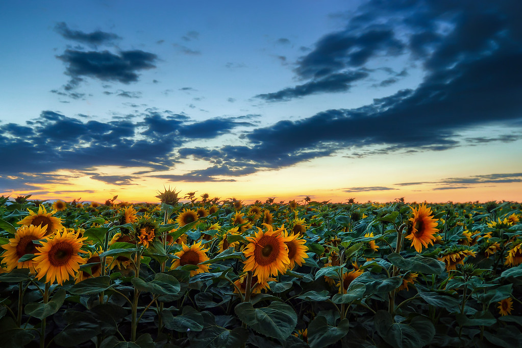 After sunset in the Sunflower field  I really wanted to take a show with the sun still above the horizon, but we were traveling on a highway, and could not stop by any of the fields, and by the time we reached this one, the sun was already down. But I still like it :). Everything is a little more blue, but still fine :). Photo taken somewhere between Trnava and Bratislava (I have no idea where exactly :))  HDR from three shots, taken with Canon 450D with Sigma 10-20mm lens, from a tripod.