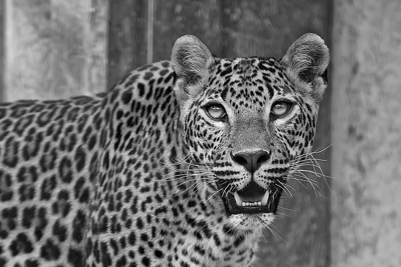 In the zoo You hear a lot that you don't need more megapixels in your camera. But than you try to take a photo like this in a Zoo, and you only have a 200mm lens. So in the end, you have to crop your photo, and crop it a lot. This is almost cropped from the 100% view. And I would have cropped it even more, if my camera had more than 22Mpix. I really think that it's much easier to carry a high megapixel camera than a 500mm lens :)  Btw. This was taken through a glass wall :) I had luck for no reflections :)