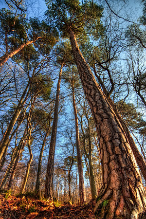 Whole Tree  I really like playing with my wide-angle lens, always trying to fit as much as possible in a single shot :) Here I lowered my tripod to like 10cm from the ground and tilted the camera towards the sky. I really could have used an articulating screen here :)  HDR from three shots, taken with Canon 450D with SIgma 10-20mm lens, on a Manfrotto 190XPROB tripod. Photo taken in the woods near Bratislava, Slovakia at the Zelezna studnicka (Steel Well) area.