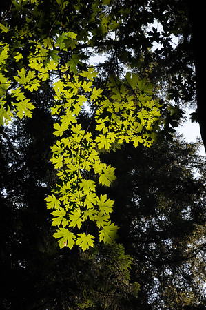 Big Leaf Maple, Olympia, Washington