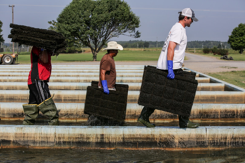 Nets full of eggs are taken out of the spawning area where they will then be transferred to ponds so the fish can mature.