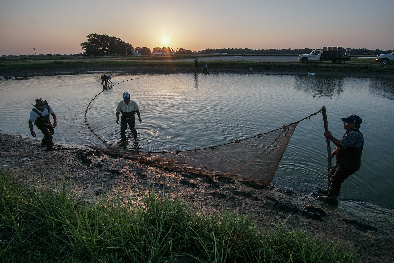 Workers seine fish during sunrise from a pond at Pool Fisheries just outside of Lonoke, Arkansas June 23rd, 2016.  The company is one of the biggest breeders of goldfish in the country.