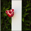 Tulip and Boards