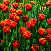 Bright Tulips under the Sun