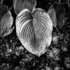 Hosta leaf in fall