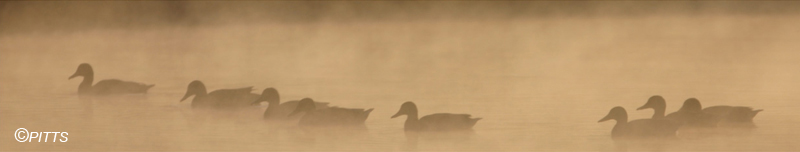 MISTY MORNING MALLARDS