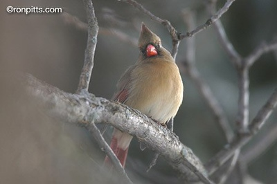 WINTER CARDINAL HUES