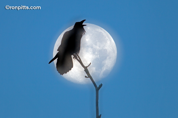 Raven at the Moon