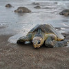 Costa Rica Ostional Turtle Pack