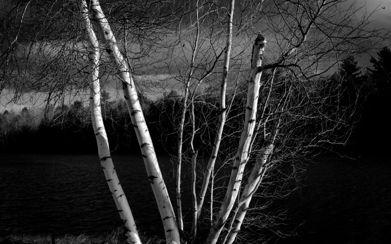 Sunset on birches