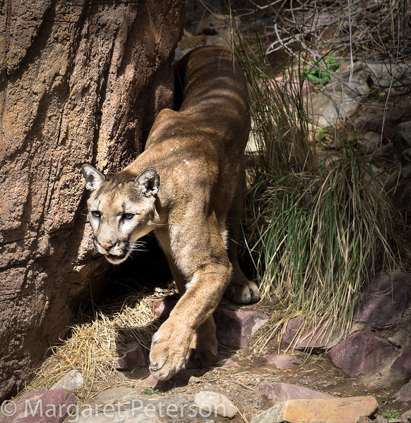 Mountain Lion at the Desert Museum
