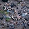 Shovelnose snake