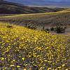 """Super Bloom of 'Desert Gold"""""""