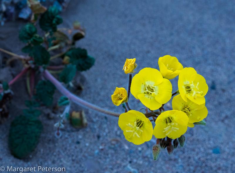 Golden Evening-Primrose