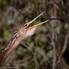 Anhinga squaking, Florida Everglades
