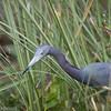 Little Blue Heron, Florida Everglades
