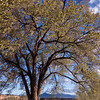 The old tree on the lawn at Ghost Ranch, NM