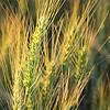 Wheat the predominant crop
