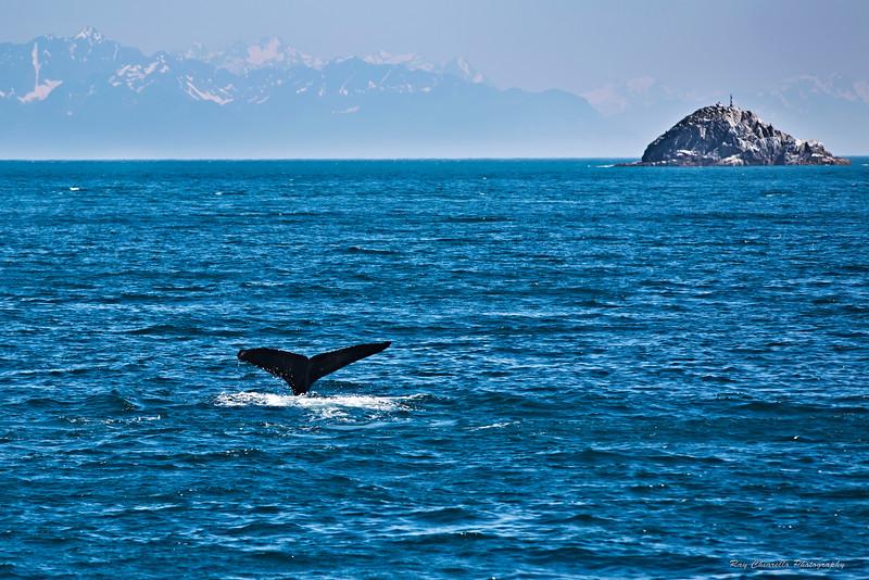 Humpback Whale Tail Flukes
