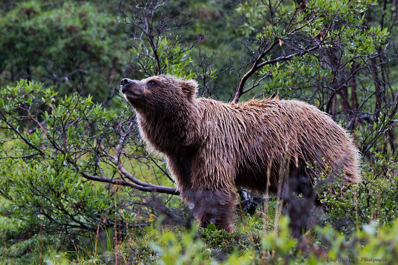 Grizzly Bear at Denali National Park