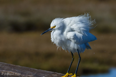 Snowy Egret - Bad Hair Day