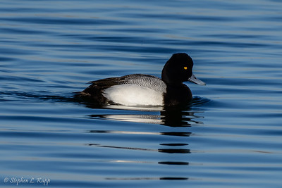Greater Scaup Duck - Swimming
