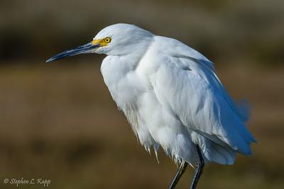 Snowy Egret - Cropped