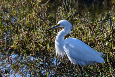 Snowy Egret - Fishing