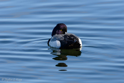 Greater Scaup Duck - Resting