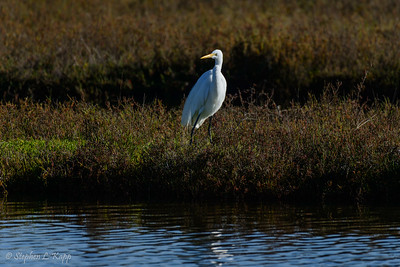 Great White Egret - On the Watch