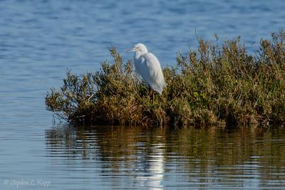 Snowy Egret - Resting