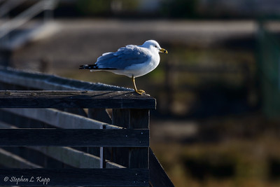 Seagull Perch