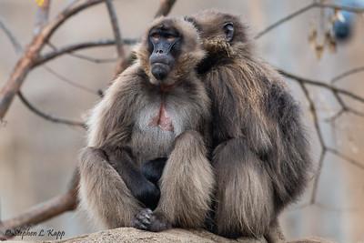 Mandrill Monkeys Staying Warm in the Rain