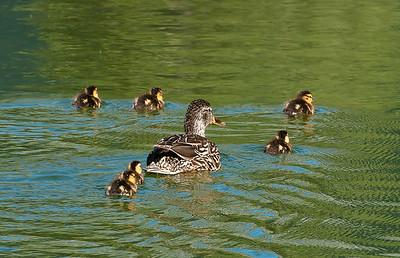 A Duck Flotilla