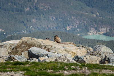 Marmot Couple with Million Dollar View