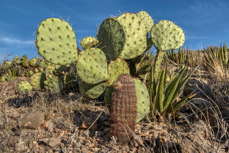 Prickly Pear and Texas Rainbow Cacti
