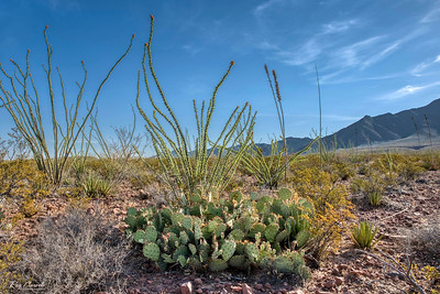 Ocotillos on the Lost Dog Trail