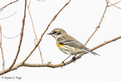 Adult Male Yellow-Rumped Warbler