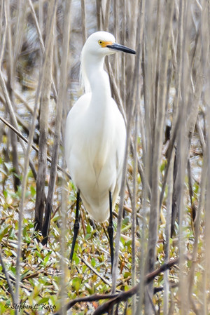 Snowy Egret in the Thicket