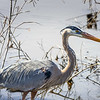 Great Blue Heron Along the Water's Edge