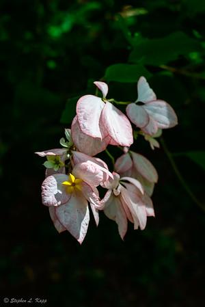 Mussaenda 'Queen Sirikit' (Rubiaceae)