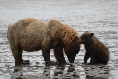 Clamming is a learned behavior for bears.  It looks like this little guy is just not that interested in what his mom is doing.  Or, is he just being a cub?