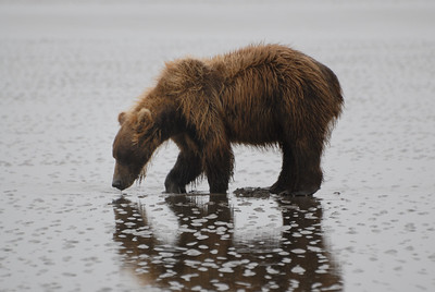 I find it interesting that some bears learn how to dig for clams while others do not.  I am impressed with how fast this gal could dig and get the clam!  Sometimes they would have to dig around three feet into the soft sand.