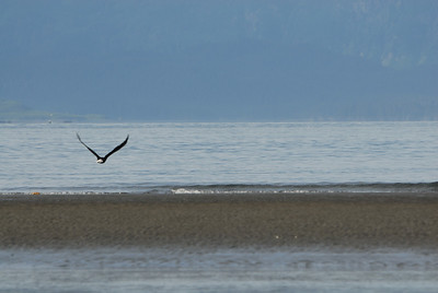 This bald eagle landed and was sitting on the waters edge on Homer Spit for the longest time.  Heather and I watched it and just when I was ready to snap the photo he started to fly away.  I guess he was camera shy.
