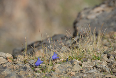 At the top of Flattop Mountain in Anchorage the ground is bare, hard and rocky.  But despite the winds, weather and exposure, I find it motivating that these small flowers survive - and  thrive!  It just goes to show how wtih determiniation and a little effort  just about anything can be accomplished.