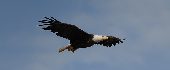 This bald eagle was soaring in the winds off of Homer Spit. He kept circling in the air currents just above our heads.