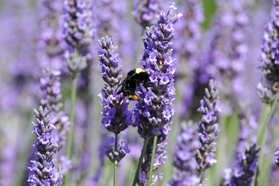 It took about 20 shots to finally capture this busy bee pollinating the lavender.