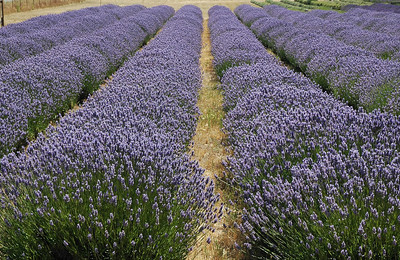 Rows of lavender are found everywhere on the Olympic coast of Washington near Sequim.  You can be driving down the road, open your window and literally smell the flowers.