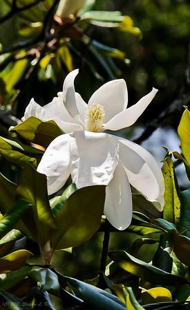 White Magnolia Splendor