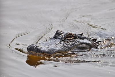 Big Al The Alligator